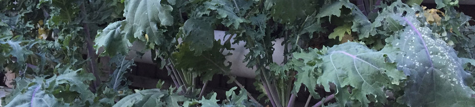 Winter Kale, by the ton!